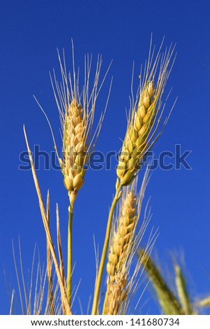Cones of wheat ripen under the summer sun against the blue sky