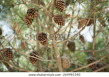 Cones on a tree photo for you - stock photo