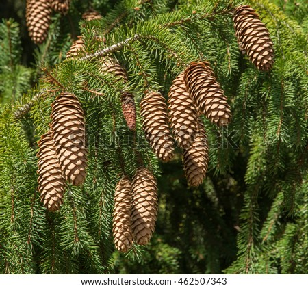 Cones on an evergreen tree