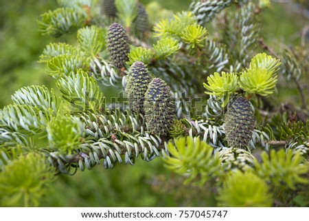 Cones on the branch