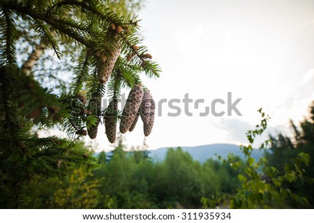 cones on the tree in the mountains of the national park - stock photo