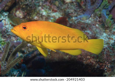 Coney grouper (Epinephelus fulvus) underwater in the coral reef of the caribbean sea