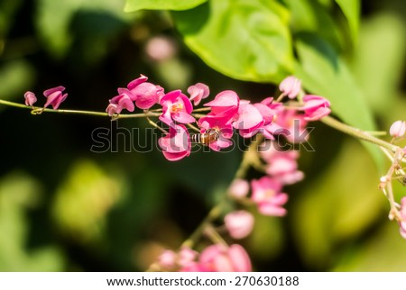 Confederate vine, Coral vine, Mexican coral vine, Mexican creeper, Queen's jewels, Queen's wreath, with bee working for flower syrup - stock photo