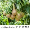 Conference pears hanging on a tree in a Dutch orchard. - stock photo