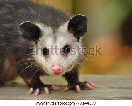 Confident Possum - stock photo