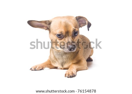 Confused dog with a bent ear isolated over white