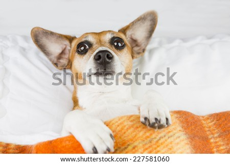 Confused funny dog under a blanket. Do not want to wake up  - stock photo