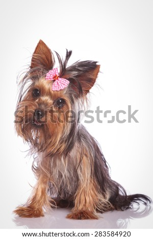 confused little yorkshire terrier puppy dog sitting and looking at the camera - stock photo
