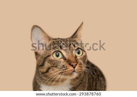 Confusing tabby cat in brown background  - stock photo