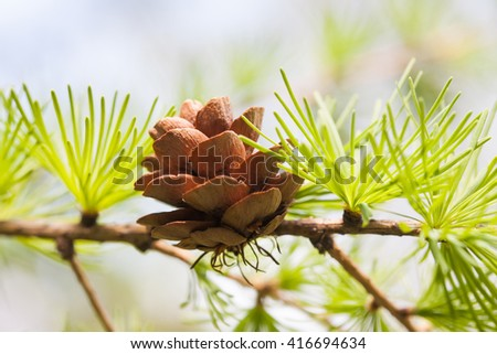 Conifer cone, fir tree branch macro view. Forest nature landscape, sunny day weather. soft focus  - stock photo