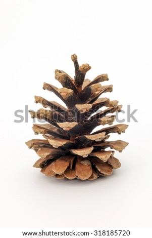 Conifer cone isolated on white background