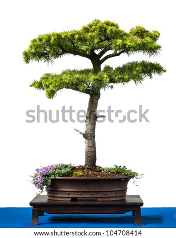Conifer cyprus cedar as bonsai tree is white isolated