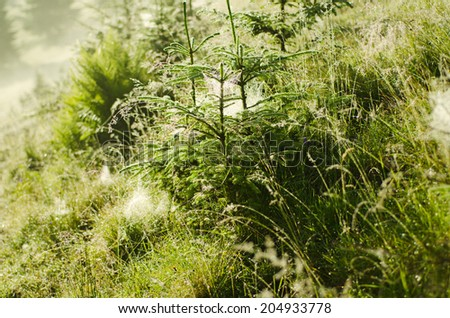 Conifer evergreen fir tree branches with dew water drops and white shiny webs - stock photo