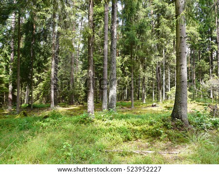 Conifer forest in Masuria in Poland