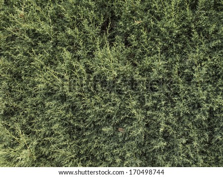 Conifer plant texture that acts like a boundary on houses. Nobody. - stock photo