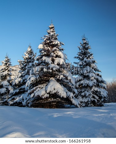 Conifer trees covered with snow; winter landscape - stock photo