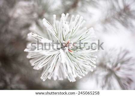 Coniferous branches covered with hoarfrost. Close up. - stock photo