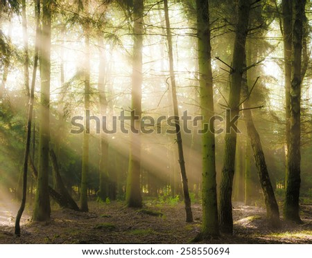 Coniferous forest backlit by the rising sun on a foggy summer day. Selective focus blurry objects - stock photo