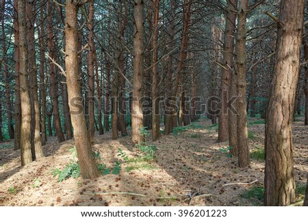 Coniferous forest. Caucasian mountains, Russian wondering landscape - fir trees, terra and silence.