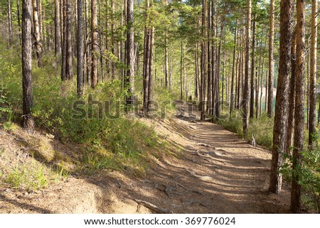 Coniferous forest in the morning near the lake Baikal.  - stock photo
