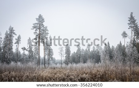 coniferous forest in winter hoarfrost - stock photo