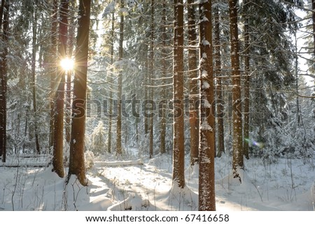 coniferous forest in winter lighted with sun - stock photo