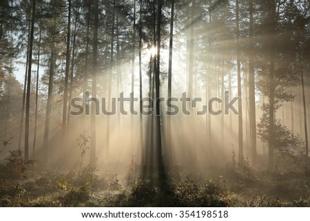 Coniferous forest on a foggy autumn morning. - stock photo