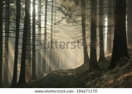 Coniferous forest surrounded by dense fog at sunrise. - stock photo