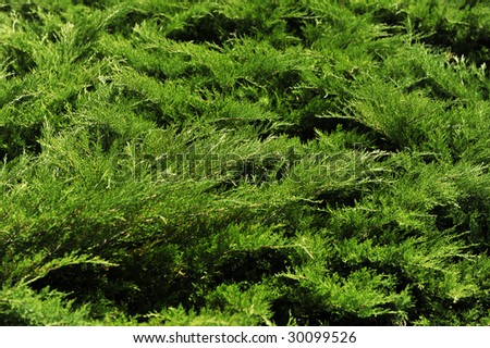 coniferous needles fir-tree background
