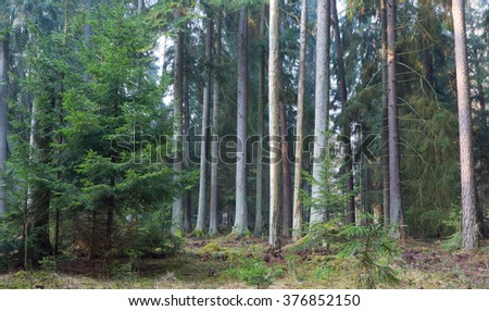 Coniferous stand of Bialowieza Forest in morning mist with pine and spruce,Bialowieza Forest,Poland,Europe