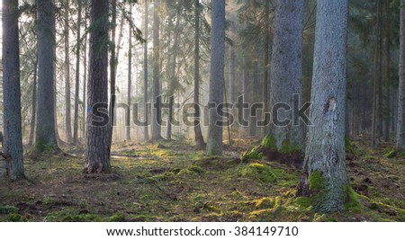 Coniferous stand of Bialowieza Forest in morning with pine and spruce. some lying broken,Bialowieza Forest,Poland,Europe