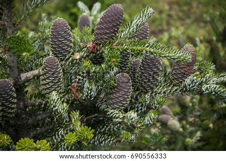 Coniferous tree branch with unusual soft needles and big cones, close-up