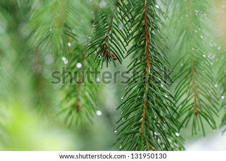 Coniferous tree branch with water drops. Macro shot - stock photo