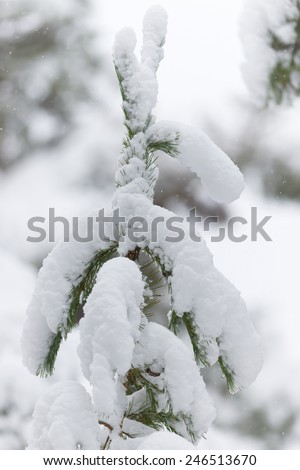 Coniferous tree covered with snow in white enviroment during a cold winter - stock photo