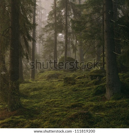 Coniferous trees in forest - stock photo