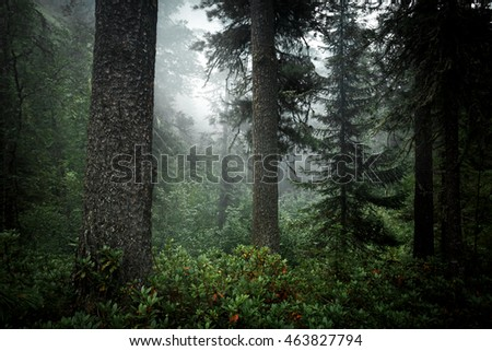 Coniferous trees in forest of taiga. Wildlife Siberia. Russia