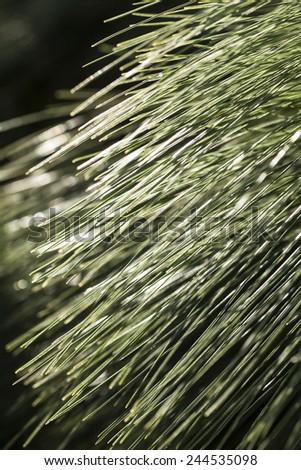 Conifers - stock photo