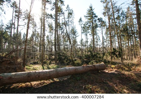 Conifers in Abbotts Wood, East Sussex, England after a night of fierce winds