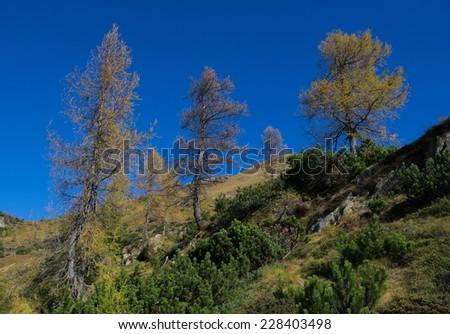 Conifers in Alpine landscape - stock photo