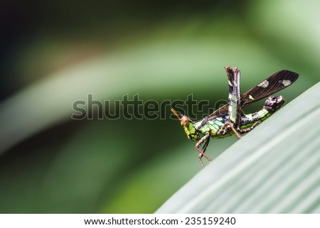 Conjoined Spot Monkey Grasshopper (Erianthus serratus) can find in the forests of Thailand - stock photo