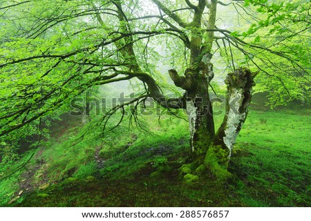 conjoined tree in the forest