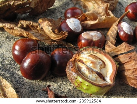 Conkers closeup - stock photo