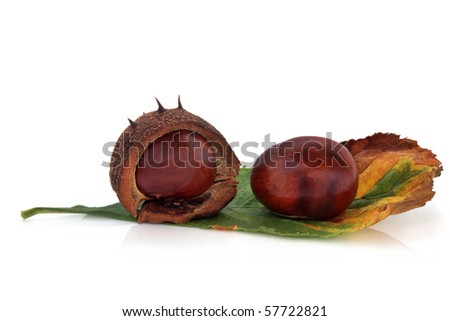 Conkers whole with one in a husk  with leaf, isolated over white background with reflection. Castanea.
