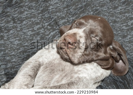 Contented sleep, German shorthaired pointer puppy, one month old - stock photo
