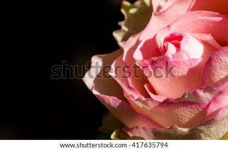 Contrast close up macro of a pink rose bloom over black background - stock photo