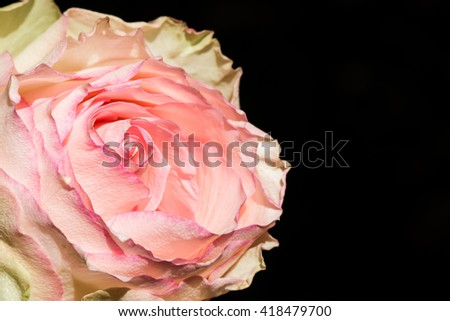 Contrast macro image of a pink and cream blooming rose flower over black background with free space - stock photo