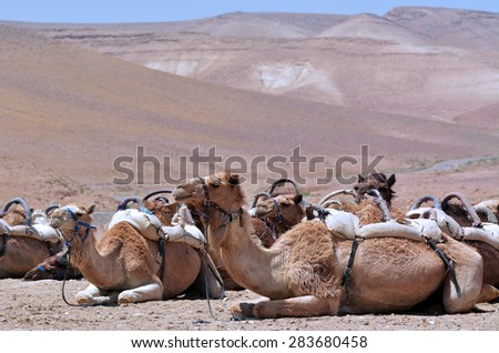 Convoy of Camels rest during a desert voyage in the Judaean Desert, Israel - stock photo