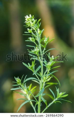 Conyza canadensis - stock photo