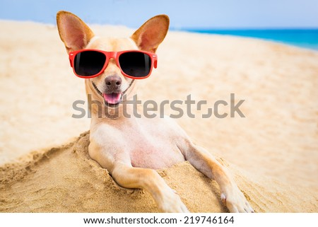 cool chihuahua dog at the beach wearing sunglasses - stock photo