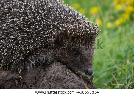 cool hedgehog on the ground at nature. summer wildlife - stock photo